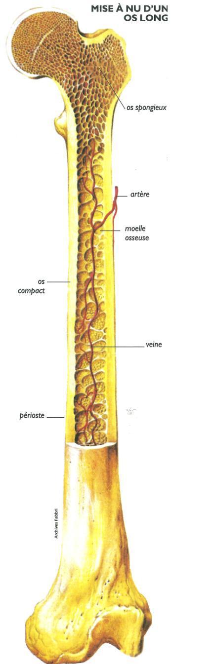 Os long